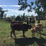 Cajamarca: Rastreabilidad Sanitaria del Ganado Bovino se Masifica en Beneficio de la Ganadería Familiar