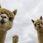 Día Nacional de la Alpaca: Perú Primer Productor de Alpaca en el Mundo