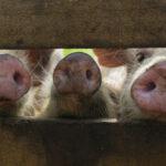 Señales para Prevenir Peste Porcina Africana