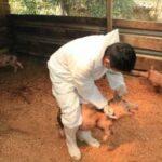 Vacunaron a 18 900 Cerdos para Prevenir la Peste Porcina Clásica en Amazonas - Perú