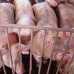 Panamá en Alerta por Carne de Cerdo Proveniente de República Dominicana