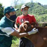 SENASA Vacunó a más de 11 mil Animales para Prevenir Brotes de Rabia de los Herbívoros en Ayacucho - Perú