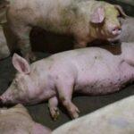 El riesgo de propagación de la Peste Porcina es extremadamente alto: OIE