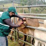 MIDAGRI: Identificación de ganado bovino permite rastreabilidad sanitaria en Perú