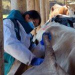 Refuerzan Acciones de Prevención y Control Tuberculosis y Brucelosis Bovina en Cajamarca