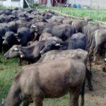 25% de la Carne y el 40% de la Leche que se consume en Venezuela es de Bufala