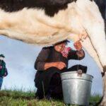 Ganadería Familiar de Cajamarca Aprende a Mejorar su Producción de Leche en Escuelas de Campo del SENASA