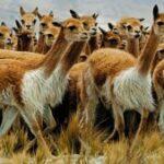 SENASA intervendrá en el 2022 para el control de sarna en vicuñas en todo Perú
